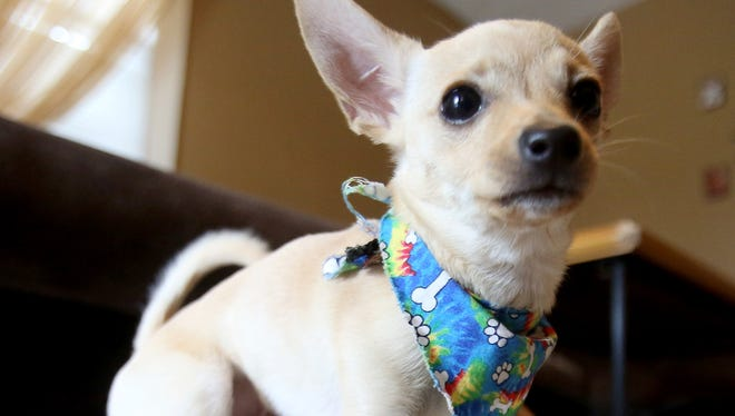 Sonny is one of two 5-month-old Chihuahua puppies who were born without front legs. The dogs' owners want to enhance their mobility with wheelchair devices.