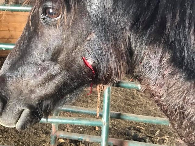 Pony pictured after the dog attack.
