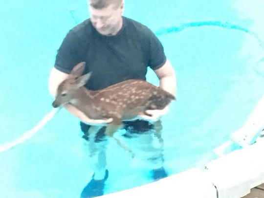 Mike Bracewell, 54, of Runnells, rescues a fawn from his backyard pool.