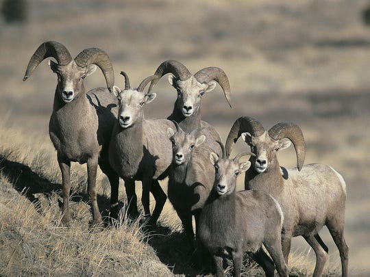 Biologist Jace Taylor said not all variations of Mycoplasma ovipneumoniae are equally lethal to bighorn sheep.