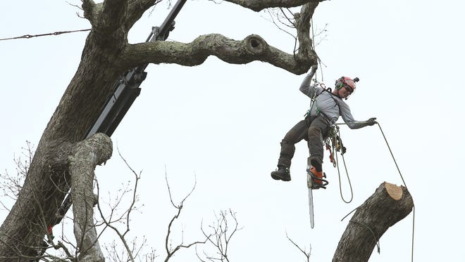 A contractor from Keiling Tree Care dangles above the ground using a chainsaw to cut limbs from a historic oak tree. After calling the Basking Ridge Presbyterian Church in Bernards graveyard home for the past 600 years, crews began removing the tree, believed to be among the oldest in the nation and, according to legend, was a picnic site for George Washington.