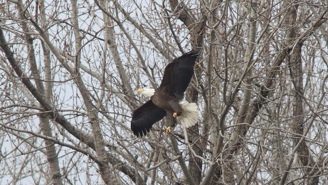 One of two adult bald eagles Wednesday near a nest that looks out on Overpeck Creek in Ridgefield Park, where the raptors have nested in the past few years.