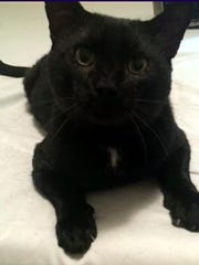 Bagheera is a large adult male tuxedo. He is fully