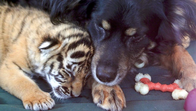 Blakely snuggles with one of the three tiger cubs at the Cincinnati Zoo.