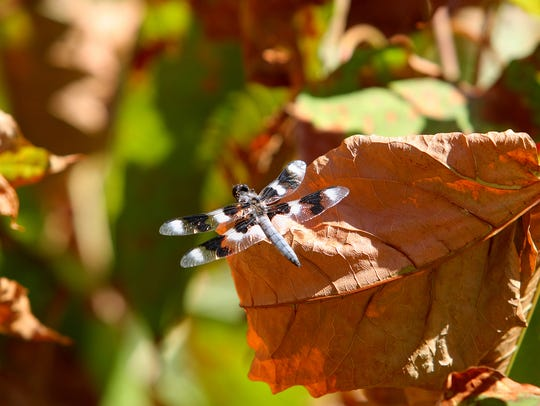 A dragonfly sits on a dead knotweed plant at Naval