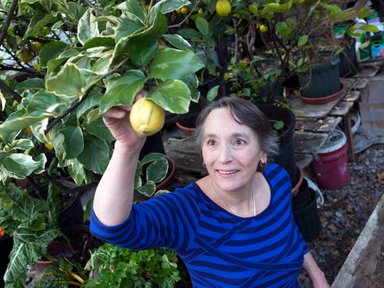 Annette Smith, executive director of Vermonters for a Clean Environment and the 2016 Vermonter of the Year, on Friday, Dec. 23, 2016,  examines a lemon growing in a greenhouse on her farm in Danby, an unusual crop in Vermont.