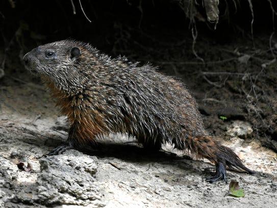 A groundhog walks along the banks of the Harpeth River