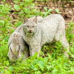 Casey and Carla, Canadian lynx sisters, explore their new exhibit Thursday at Binder Park Zoo.
