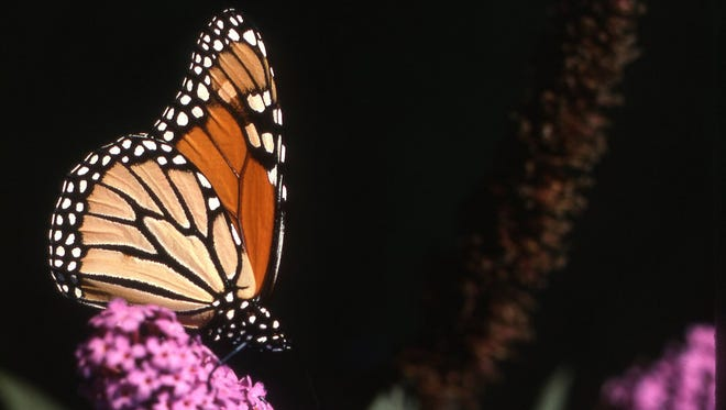 This common butterfly depends upon milkweed plants for survival and migrates to Mexico each fall. See question 13.