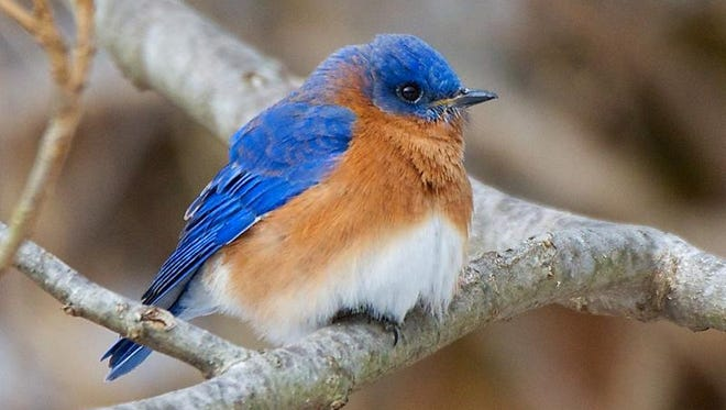 Increasingly, bluebirds are sticking around instead of flying south for the winter. This one was shot by Larchmont resident Jim Sutherland on Jan. 28 at the Sheldrake Environmental Center in Larchmont.