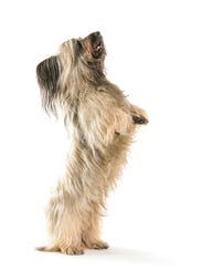 Norman is The 3-year-old is a rare Skye terrier, a