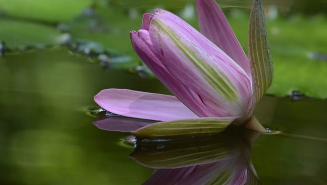 McKee Botanical Garden hosts its annual Waterlily Celebration:A Spectacle of Color. from 8:30 a.m.-2 p.m. June 17.