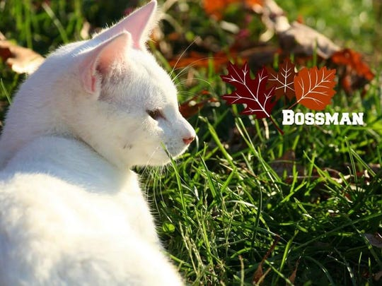 """Bossman is a gorgeous, solid white boy that's under a year old. He's out of a litter of four and he is the """"boss man"""". He is already neutered and up to date on all shots, just waiting for the perfect home. To find out how to adopt Bossman, please call the Mary Hall Ruddiman Shelter."""