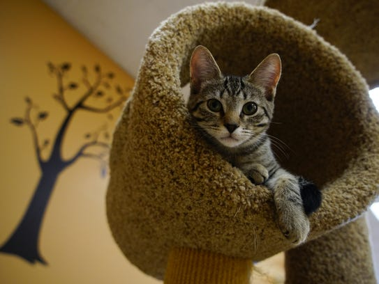 A kitten up for adoption relaxes in a cat play tree