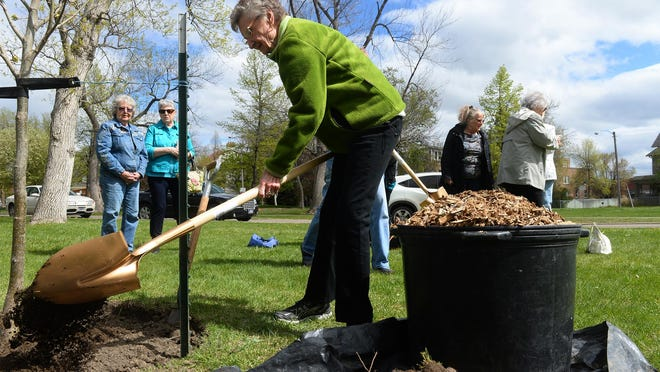 The Rainbow Garden Club planted a Small Leaf Linden tree in Gibson Park on Friday in honor of Arbor Day.