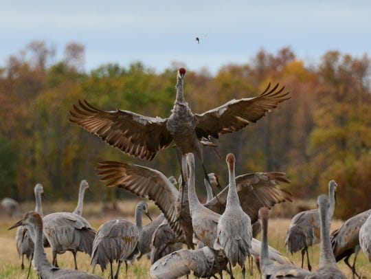 A sandhill crane takes flight over a group of other