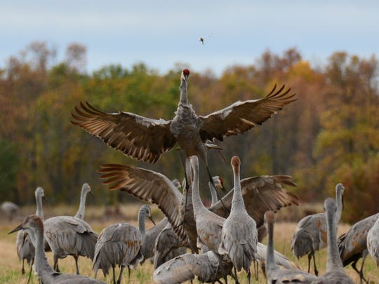A sandhill crane takes flight over a group of other cranes at Crex Meadows Wildlife Area near Grantsburg.