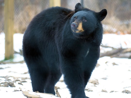 New legislation could allow Binder Park Zoo to breed large predators, such as bears.