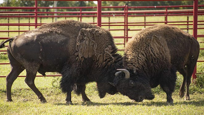 Bison  from Yellowstone National Park in Wyoming, were transferred to the Cherokee Nation's bison ranch as part of a preservation effort to reconnect tribes with the historically significant animals through the InterTribal Buffalo Council.