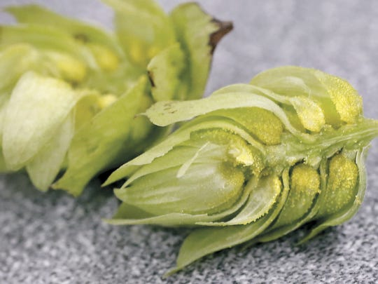 A cross section of a hop reveals the granuals that are the primary hop ingredient in beer.
