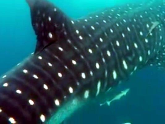 whale_shark_naples1.jpg