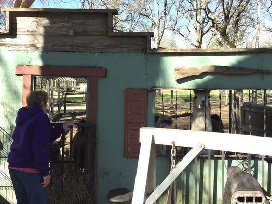 Chic Miller of Bella Vista Farms in Igo checks on her alpacas.