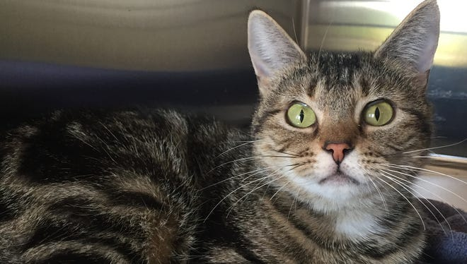 Avalon has beautiful green eyes and is a petite little 1-year-old girl who came into the shelter as a stray. She loves attention and is always at the front of her cage waiting to talk to visitors. Avalon will make someone a great companion.