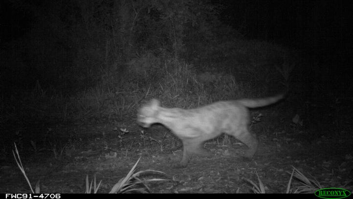 A Florida panther kitten following its mother was captured