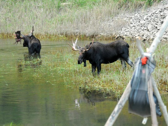 Two bull moose feed and drink in a flooded creek at