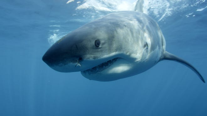 Great White Sharks are making a comeback at the Jersey shore, but that isn't stopping people from spending their summer days at the beach.