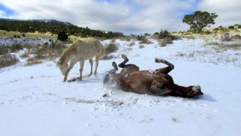 Matt Midgett's horses enjoy a cool row in the snow.