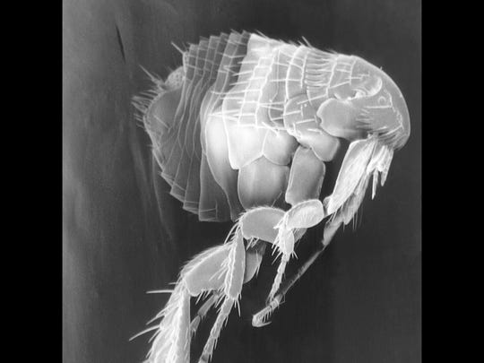 A flea, as seen with a scanning electron micrograph. Plague is a disease of rats and their fleas.