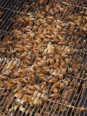 Bees in the hive of Sweet Acres Honey.