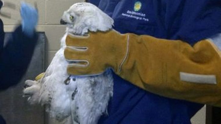 A snowy owl was hit by a bus in DC.