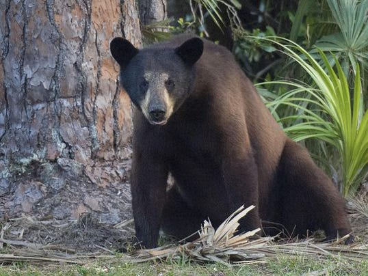 Florida bear hunt ends in 2 days after 295 killed for Fish and wildlife florida