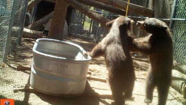 In this Thursday, Aug. 4, 2016 photo provided by Land of Enchantment Wildlife Foundation, two orphan bear cubs play together in New Mexico. Dr. Kathleen Ramsay, owner of the Cottonwood Veterinary Clinic and a longtime wildlife rehabilitator, has been caring for the cubs, named Valley Girl and Cowboy, for the last three months at an undisclosed location, where she is preparing them for release back into the wild in late October or November, when the height of hunting season has passed.