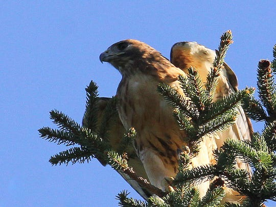A red-tailed hawk surveys the New Weis Center's woodlands.