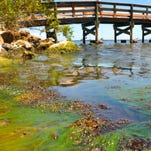 Seaweed-like algae is shown on the banks of the Indian River Lagoon near the Eau Gallie Pier earlier this year. Manatee deaths and health problems were reported from manatees eating the alage in lieu of seagrass.