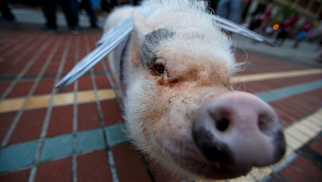 Bacon the pig paces around the intersection of 7th and Main during the 20th Annual Flying Pig Marathon in downtown Cincinnati on Sunday, May 6, 2018.