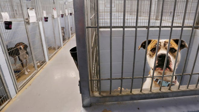 Stray dogs peer out from their kennels at Almost Home Humane Society Thursday, October 12, 2017, at 1705 South Second Street in Lafayette.