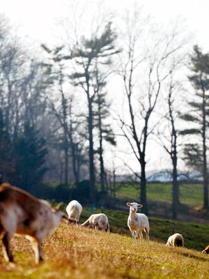 Goats and sheep graze outside their barn in December at Balady Farm in Paradise Township. The 28-acre farm, which Hafed Ali Abbas has operated since early 2012, specializes in animals raised to be slaughtered in accordance with halal practices.