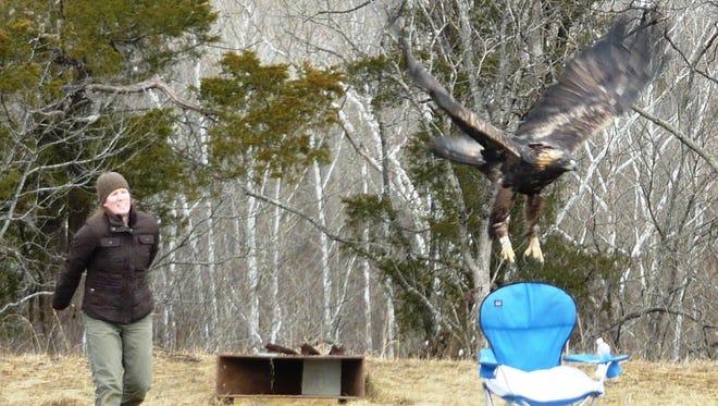 Kate Slankard released the Bernheim Forest golden eagle in 2015.
