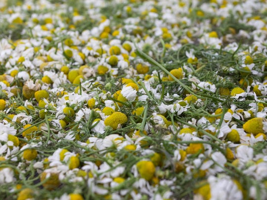 Chamomile dries on handmade racks in the greenhouse at Zack Woods Herb Farm in Hyde Park last week.