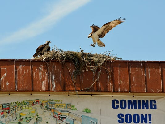 Osprey nest at Titus landing