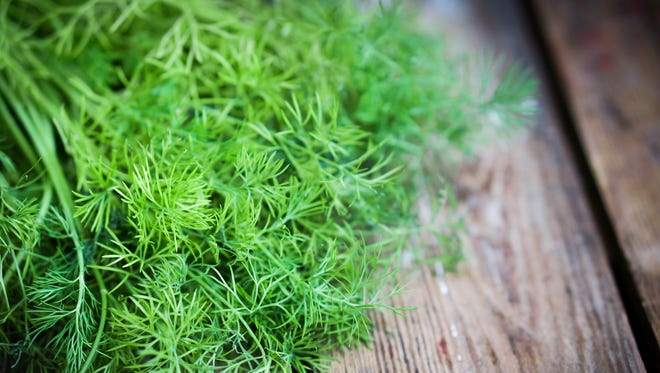 """The dill plant is related to the """"carrot"""" family of plants which sounds bizarre. Dill is an """"umbellifer"""" which means it is related to asafoetida, caraway seeds, celery powder, parsley, coriander seeds and fennel."""