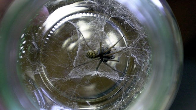 A giant house spider in a jar is one of the things that people bring into the OSU Extension office on Center Street NE for identification. House spiders can be big but are not dangerous.