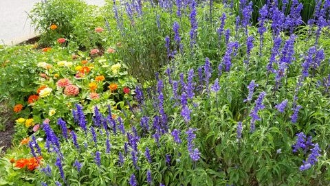 Many salvia return year after year to provide color throughout the season.