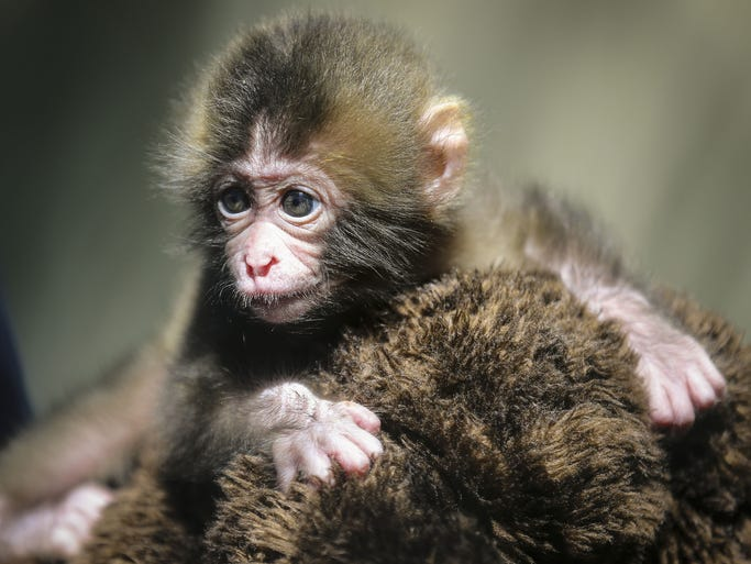 A Japanese macaque plays in an enclosure Wednesday, June 25, 2014, at the Blank Park Zoo in Des Moines. The female monkeys, named Anika and Jubei Jo were born on June 5 and 16. In addition, another baby Japanese macaque born on June 5, Nikko, came to Blank Park Zoo from the Buffalo Zoo.