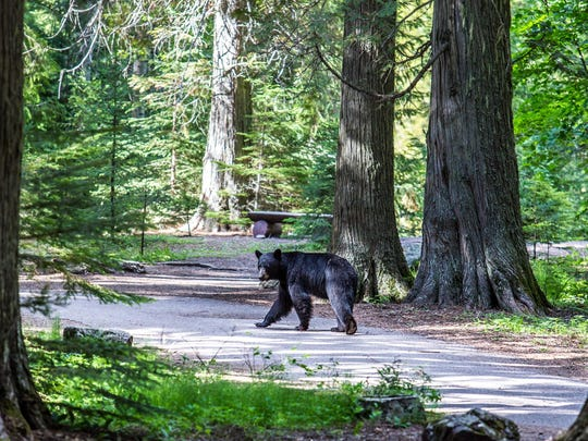 A Black Bear wanders down the Trail of the Cedars in