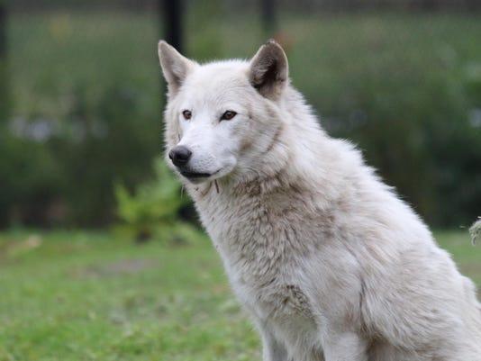 Wolf - Wazi - Erin Albrecht